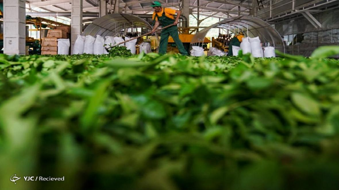 خرید برگ سبز چای تا پایان مهر ادامه دارد؛ پرداخت 85 درصد مطالبات چایکاران