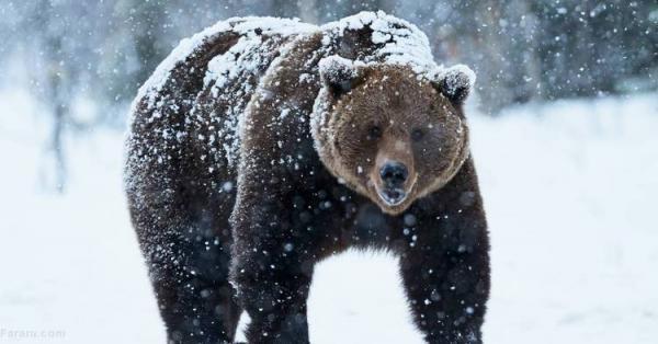 (ویدئو) یک خرس اسکی بازان را غافلگیر کرد
